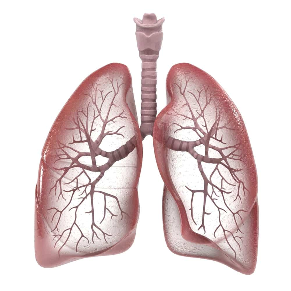 3D rendering of human respiratory system, lungs