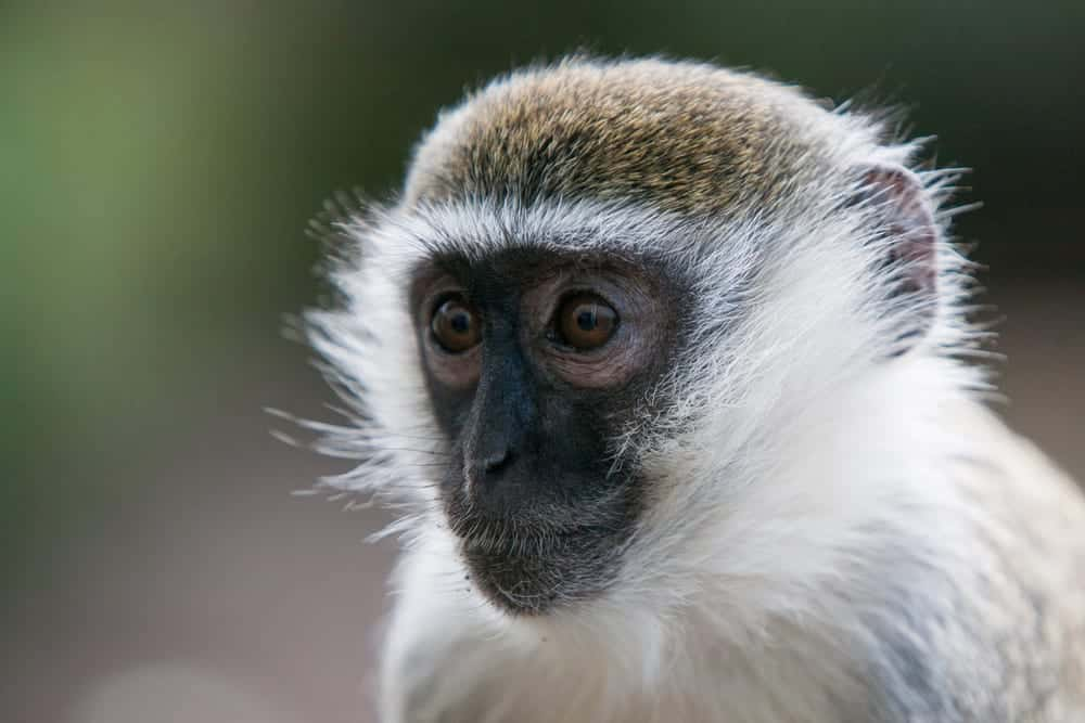 Close-up of green monkey, also called vervet monkey