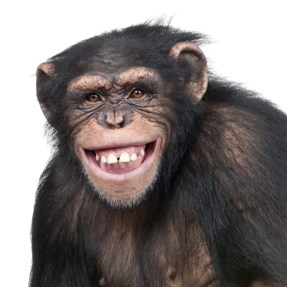 Portrait of smiling young chimp
