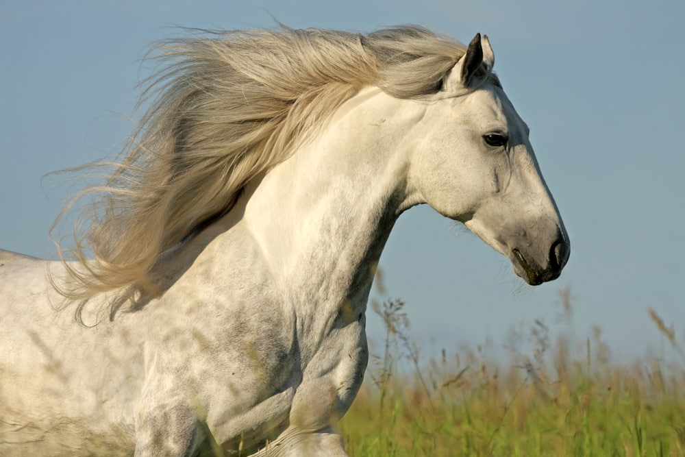 White horse running in a field