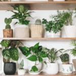Variety of houseplants on two wooden shelves