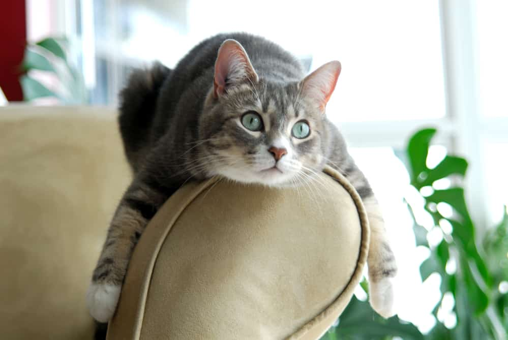 Cute cat lying on the arm of a couch
